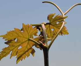 Pas trop de bio dans les vins de Bordeaux